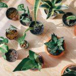 Een vijgenplant binnen, creëer een heuse exotische sfeer in huis